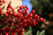 Червените боровинки - враг на излишните килограми