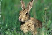 Ловци пипнаха туларемия от умрял заек