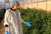 В Израел създадоха марихуана без странични ефекти