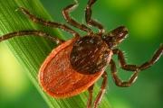 Разширява се ареала на инфекциите от кърлежи