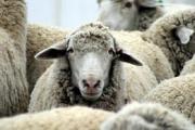 Болярово брои овце и кози заради шарката
