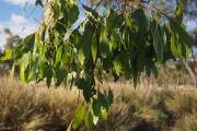 Евкалиптовите листа съдържат до 3% етерично масло
