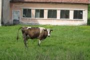 Туберкулоза при кравите - внимавайте при покупка на прясно мляко от стопани!