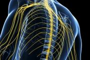 Вегетативната нервна система с първостепенна роля във важни функции