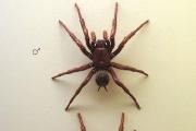 Австралийски паяк помага след инсулт