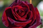 Ароматът на босилек и роза увеличава сексуалното желание