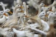 Ново огнище на птичи грип в Хасковско
