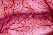 Учени създадоха изкуствени кръвоносни съдове
