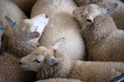 Затворени са пазарите за живи животни в Старозагорско и Пловдивско